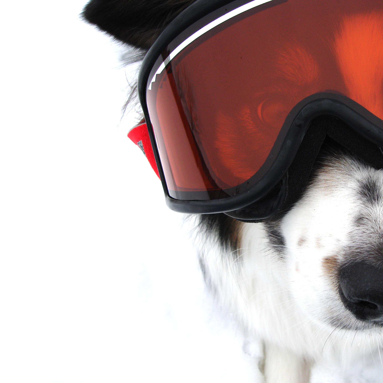 Chien avec lunettes de ski