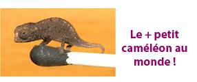 image du caméléon brookesia micra sur une allumette