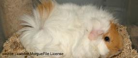 photo d'un cochon d'inde, source : Xander, MorgueFile Licence