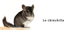 Une chinchilla copie