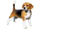 La race du beagle. Ecrit par Animaute