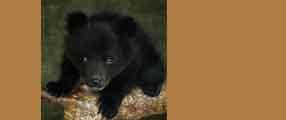 Un ourson ne peut s'empêcher de dormir - Animaute