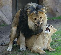 L'acte sexuel des lions - animaute