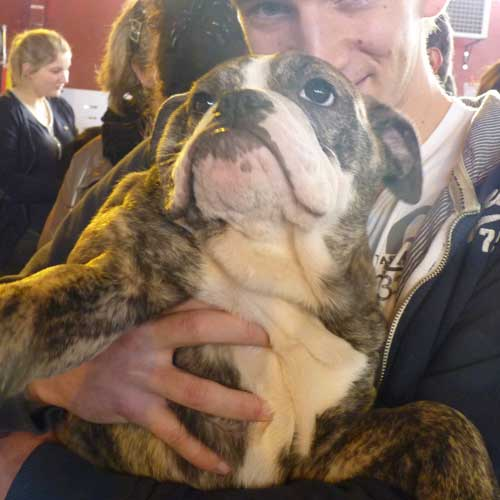 Bulldog Anglais au salon du chiot