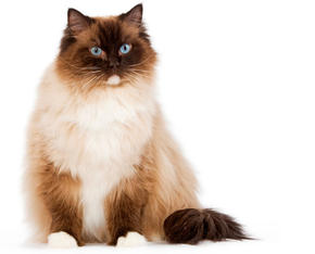 image d'un chat ragdoll - encyclopédie du chat Royal Canin