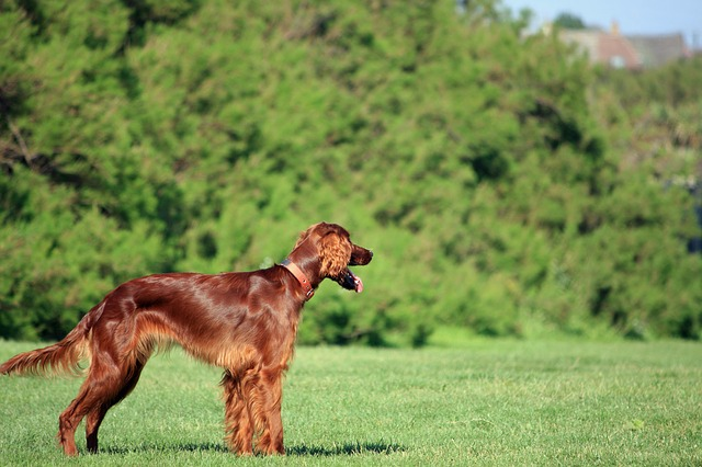 le setter anglais chien de chasse plein d 39 affection les races de chien. Black Bedroom Furniture Sets. Home Design Ideas