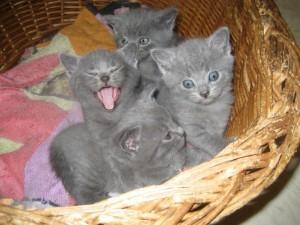 faire connaissance avec le chartreux les races de chats. Black Bedroom Furniture Sets. Home Design Ideas
