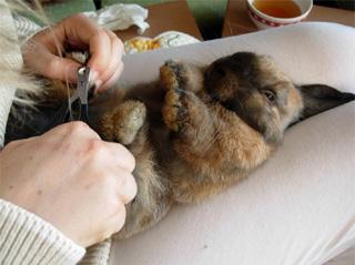 Couper Les Griffes Dun Lapin Lapins Petsittingfr
