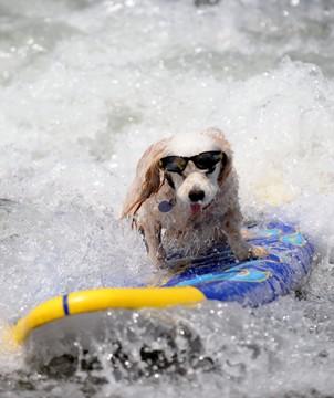 chien lunettes surf