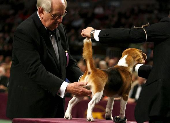 concours beauté chien