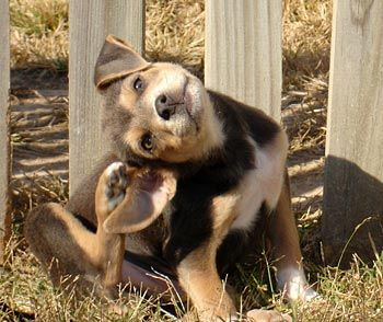 chien-qui-se-gratte2 (3)