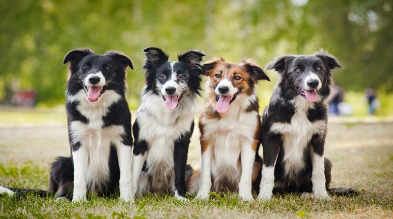TOP 10 des chiens obéissants