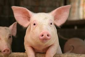 Cochon NAC