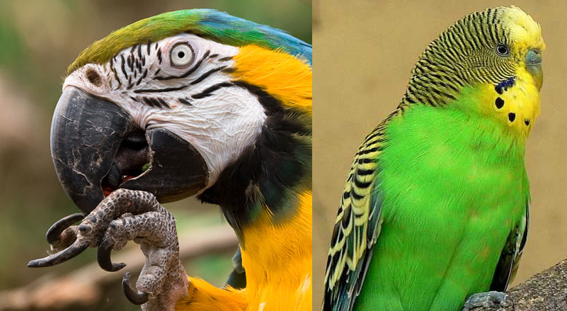Perruche perroquet