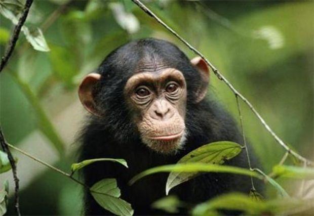 chimpanzé NAC