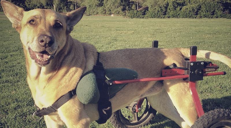 paralysie canine
