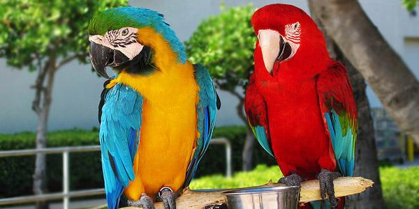 perroquet NAC