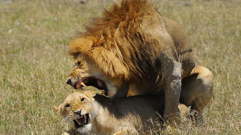 reproduction des lions