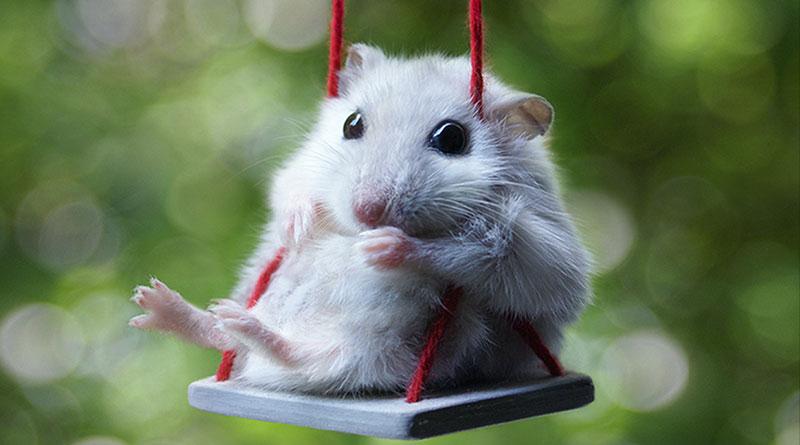 Les maladies du hamster