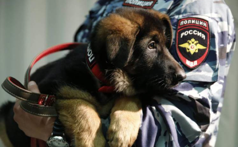 Dobrynya chien policier