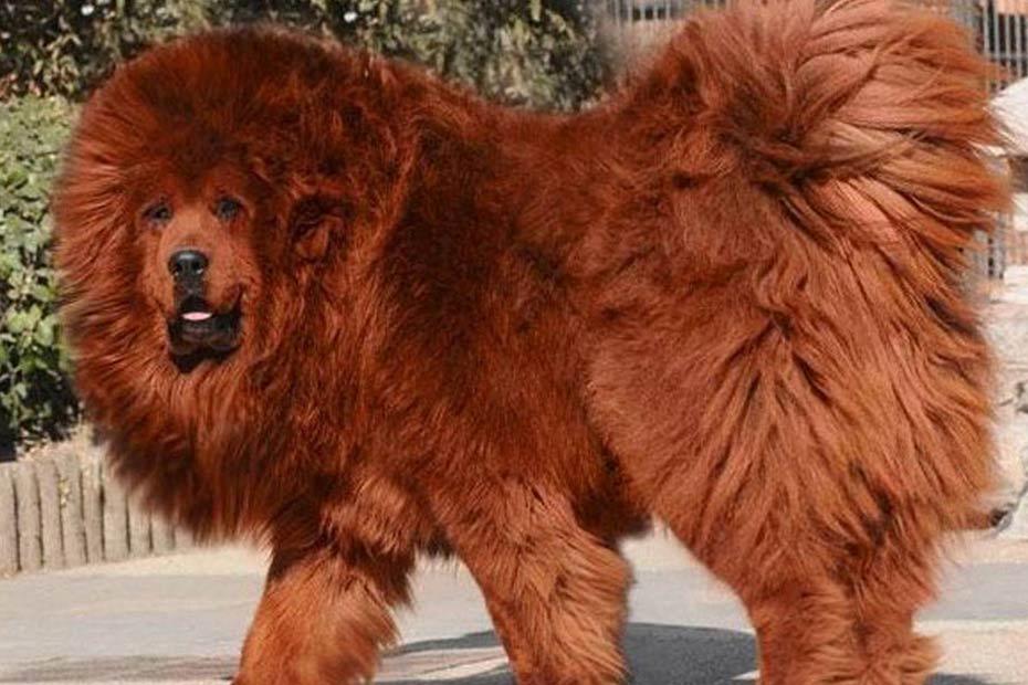 le mastiff tibetain