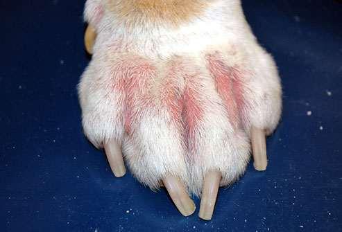 irruption cutanée chien
