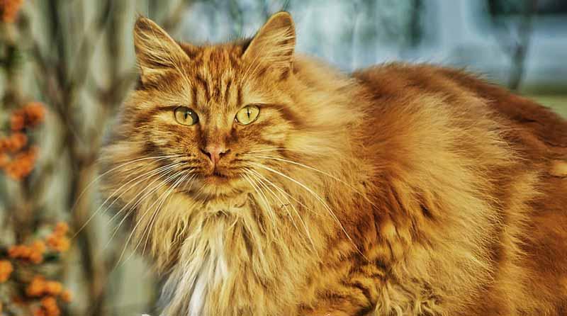 chat roux se tenant sur un mur enneigé