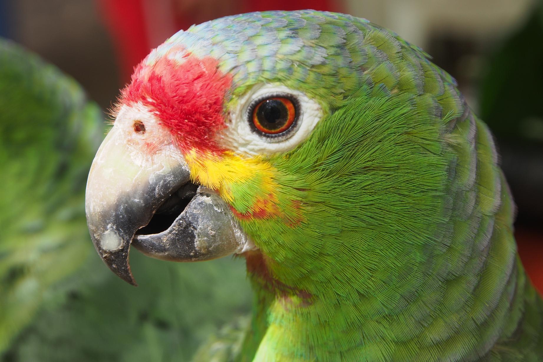 Perroquet Amazone à front rouge