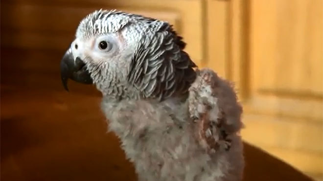 perroquet gris déplumé