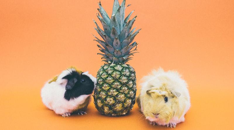 rongeurs-avec-un-ananas
