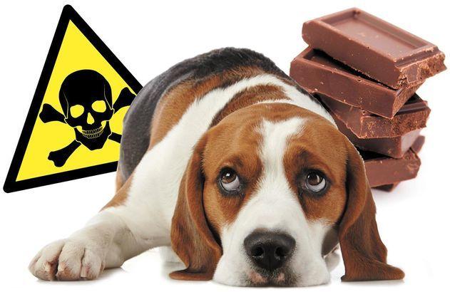 chien chocolat