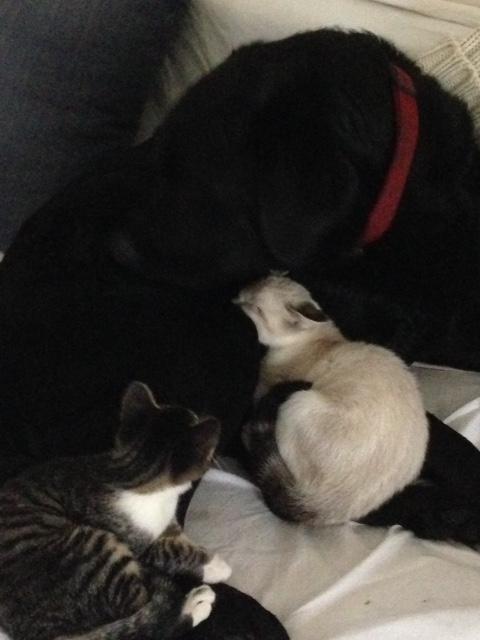 chatons-couches-contre-un-labrador
