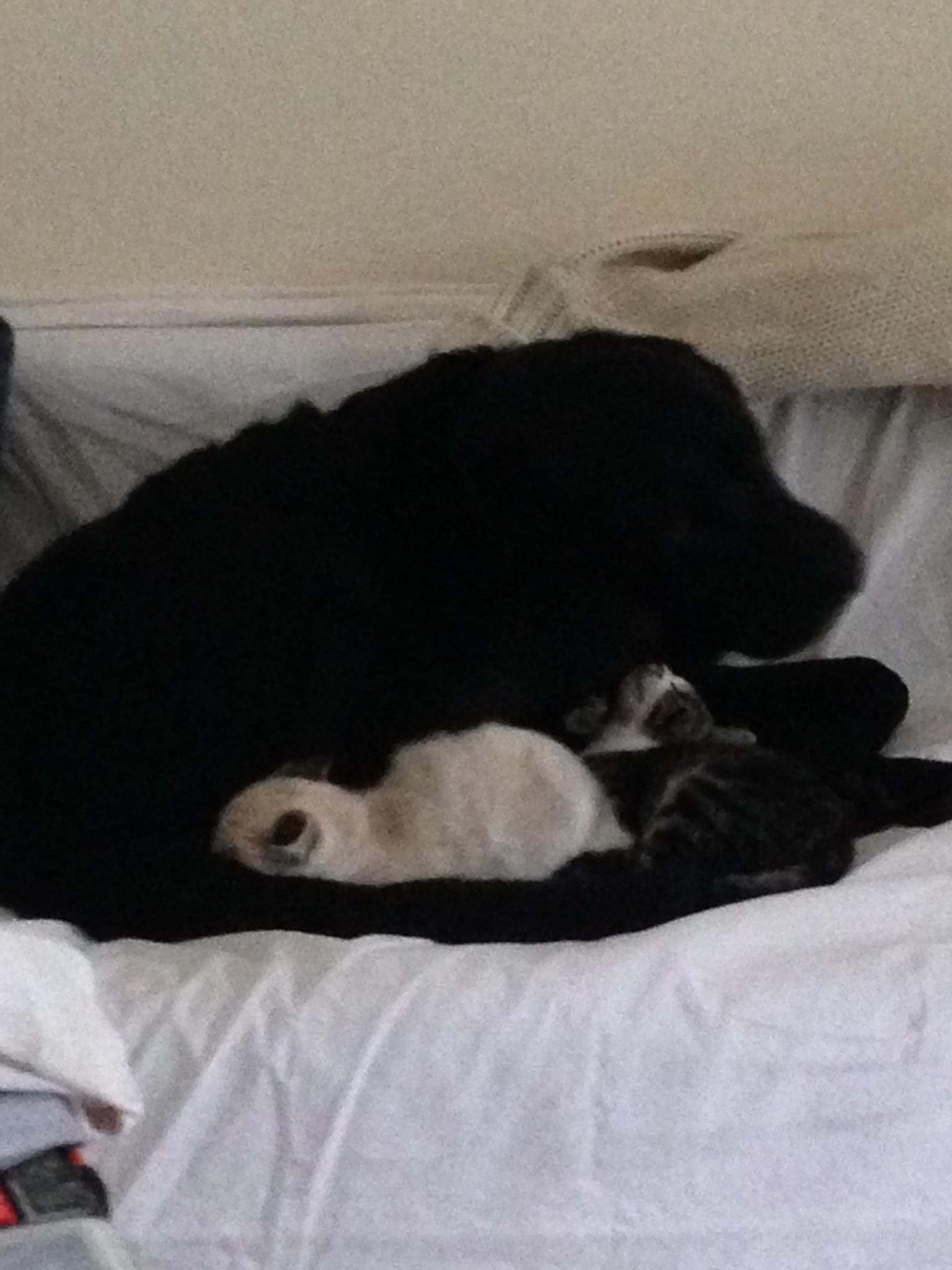 labrador-couche-avec-trois-chatons