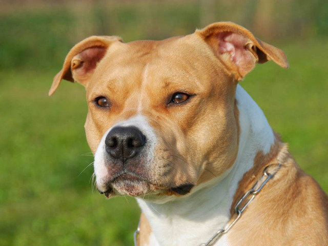 american-staffordshire-terrier-657