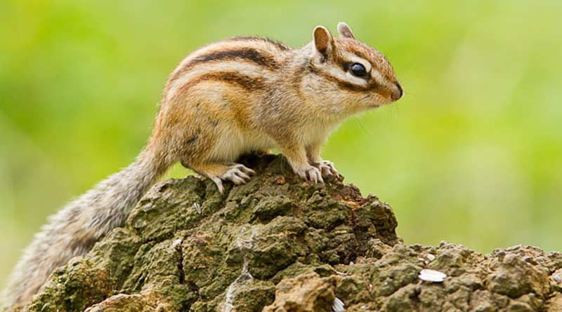 L'écureuil de Corée