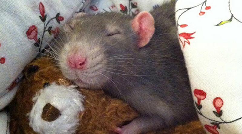 Adopter un rat