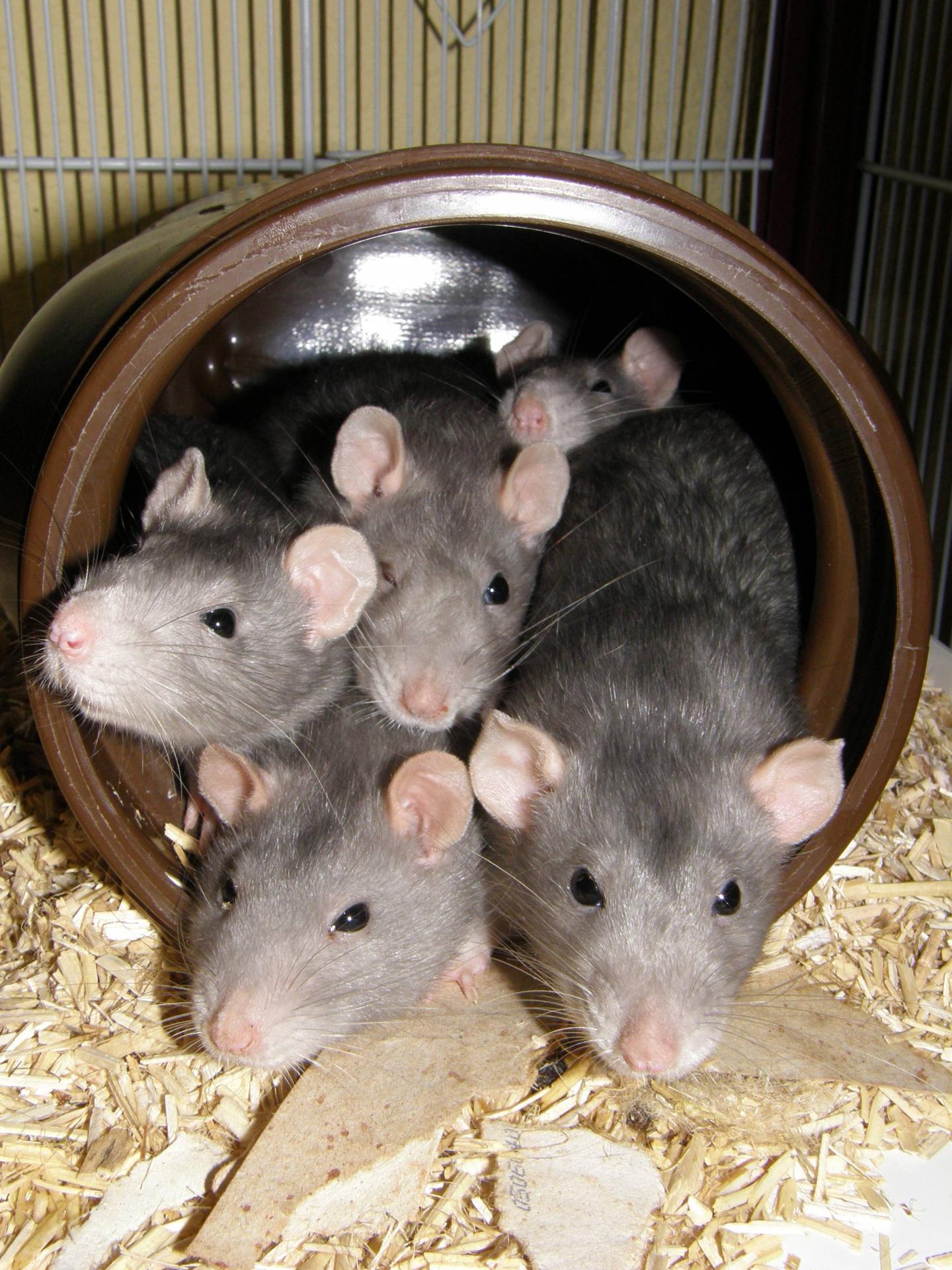 rat-groupe-femelle