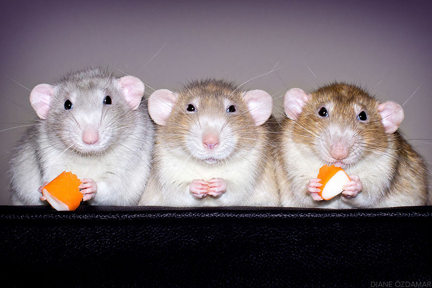 rats-fromage