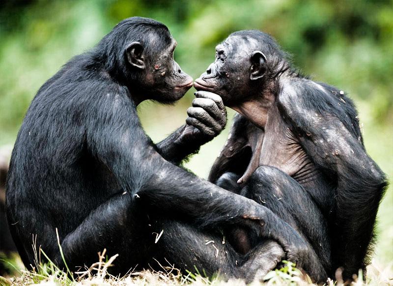 bonobos-saint-valentin