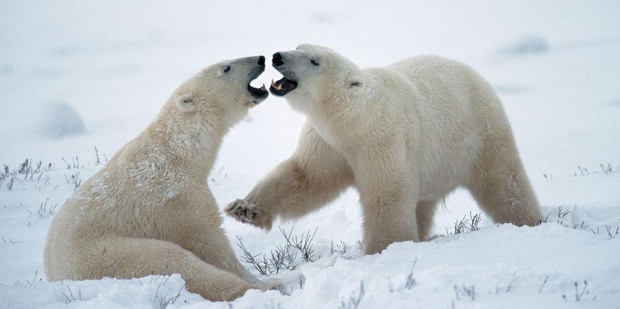 ours-polaire-saint-valentin