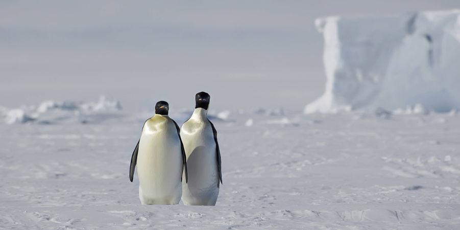 pingouin-saint-valentin