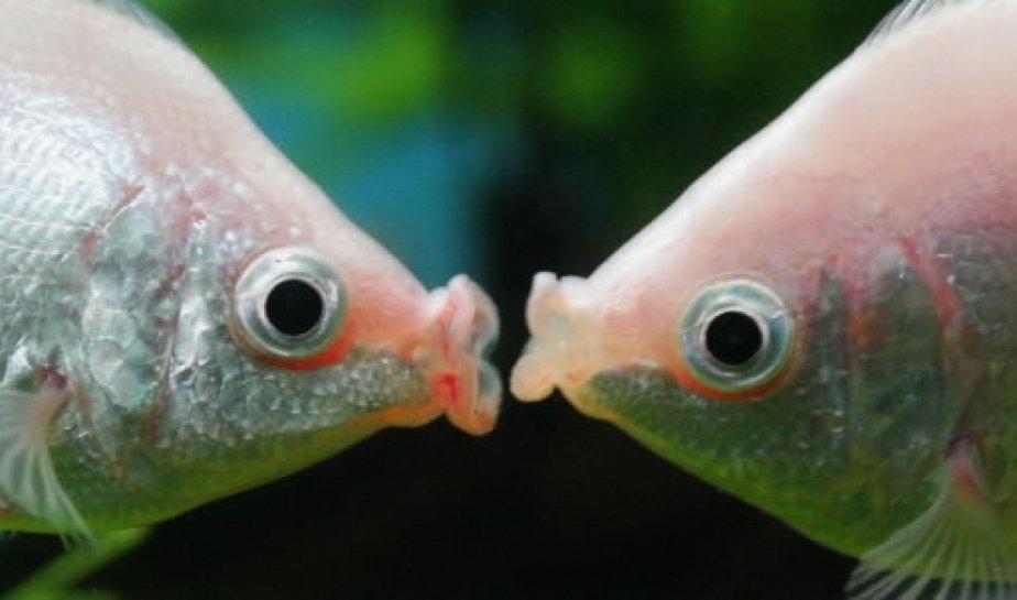 poissons-saint-valentin