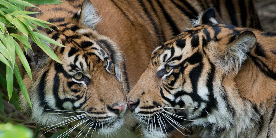 tigre-saint-valentin