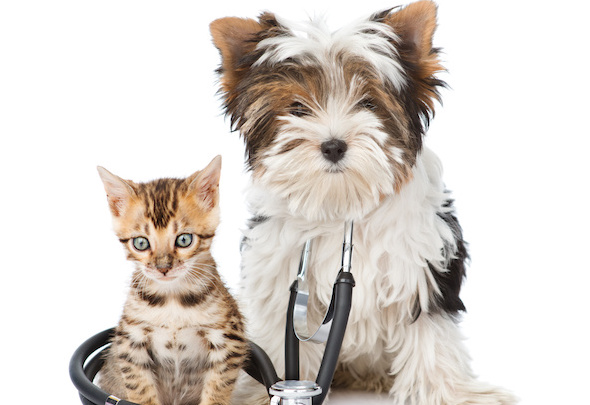 Small bengal cat and Biewer-Yorkshire terrier puppy with stethoscope on his neck. isolated on white background